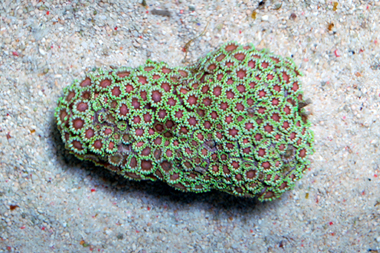 Pink center green flower pot coral goniopora spp mightylinksfo