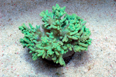 Green Finger Leather Coral - Sinularia spp.