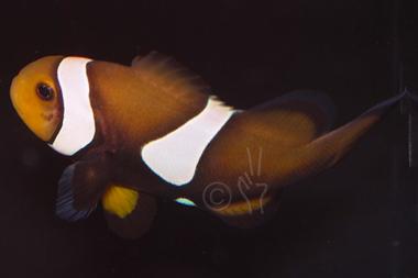 Mocha ocellaris clownfish captive bred amphiprion for Clown fish scientific name