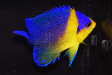 Venustus Angelfish - Centropyge venustus