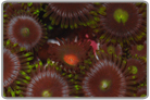Green Fringe Purple Zoanthids