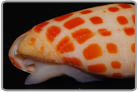 Orange Spotted Mitra Snail
