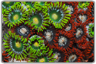 Ultra Colored Zoanthids