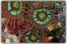 Double Colored Zoanthids - Caribbean Collected