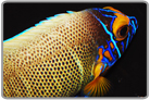 Blueface Angelfish - Changing