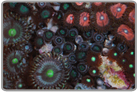 Ultra Assorted Color Zoanthid Mix