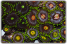 Green Fringe Assorted Color Zoanthids