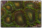 Colored Zoanthids