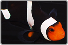 Onyx Percula Clown - Captive Bred