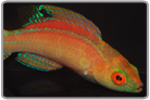 Sunset Fairy Wrasse