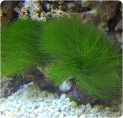 Maiden S Hair Algae Turtle Weed Chlorodesmis Fastigiata
