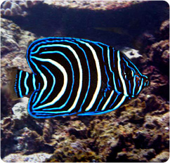 Koran angelfish - photo#22
