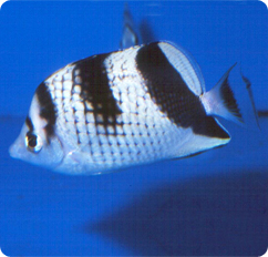 Black Pearlscale Butterflyfish, Asian Butterfly ...