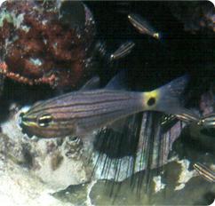 cheilodipterus quinquelineatus illustrative essay