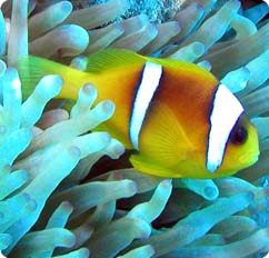 Two banded red sea anemonefish amphiprion bicinctus for Clown fish scientific name