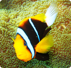 Clarkii clownfish captive bred amphiprion clarkii for Clown fish scientific name