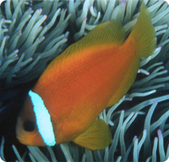 Tomato clownfish captive bred bridled clownfish for Clown fish scientific name