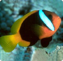 Cinnamon clownfish black anemonefish amphiprion melanopus for Clown fish scientific name