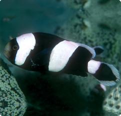 Saddleback anemonefish saddleback clownfish amphiprion for Clown fish scientific name
