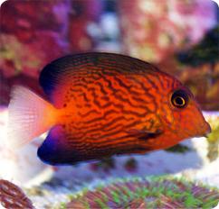 external image 000730_Ctenochaetus_hawaiiensis.jpg