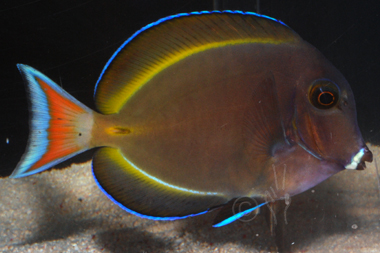 Achilles gold rim hybrid tang acanthurus achilles x for Blue tang fish price