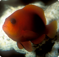 Fire clownfish captive bred amphiprion ephippium for Clown fish scientific name