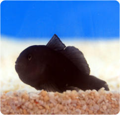 midnight goby black clown goby