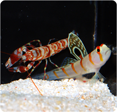 goby fish and blind shrimp relationship