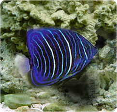 Annularis angelfish juvenile blue king angelfish for Fish compatible with angelfish