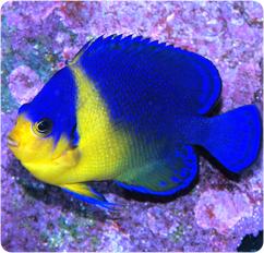 Venustus Angelfish, Purple Masked Angelfish - Centropyge ...