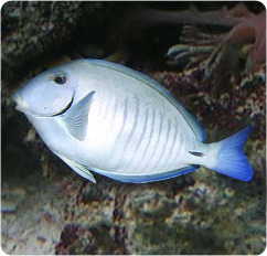 Doctorfish - photo#5