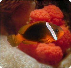 Tomato clownfish bridled clownfish amphiprion frenatus for Clown fish scientific name