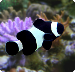 Black & White Ocellaris ALL BLACK - Captive Bred ...