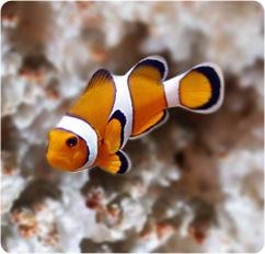 Ocellaris clownfish false percula clownfish amphiprion for Clown fish scientific name