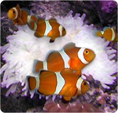 Ocellaris clownfish captive bred amphiprion ocellaris for Clown fish scientific name