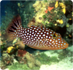 Whitespotted toby pufferfish hawaiian whitespotted toby for Puffer fish diet