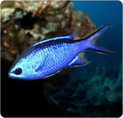Chromis cyanea exotics fish loricula flame pygmy angel for Scientific name of fish