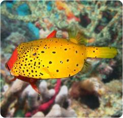 Cubicus Boxfish Care Yellow Boxfish, Cubicu...