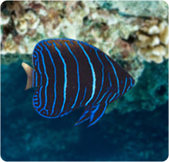 Majestic angelfish juvenile blue girdled angelfish for Fish compatible with angelfish