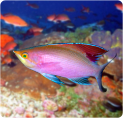 Anthias scientific name pseudanthias tuka reef compatible for What is the scientific name for fish