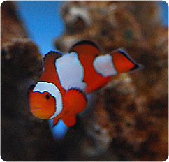 Snowflake clownfish captive bred amphiprion ocellaris for Clown fish scientific name