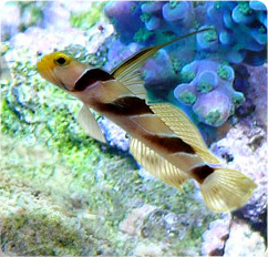 Yellow Rose Goby, Striped Goby - Stonogobiops nematodes