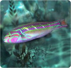 Rainbow Wrasse Fivestripe Wrasse Thalassoma Quinquevittatum
