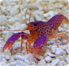 Purple Lobster, Debelius' Reef Lobster - Enoplometopus spp.
