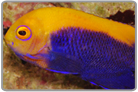 Brazilian Flameback Angelfish