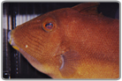 Orangesided Triggerfish