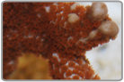 Red Polyped Finger Montipora - Cultured