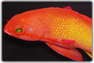 Male Lyretail Anthia