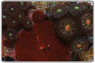Red Mushrooms and Assorted Color Zoanthids