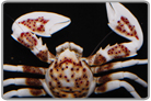 Anemone Porcelain Crabs